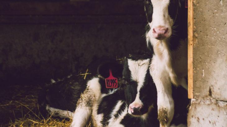 Zdjęcie krowy
